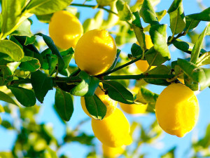 Lemon-Trees-low
